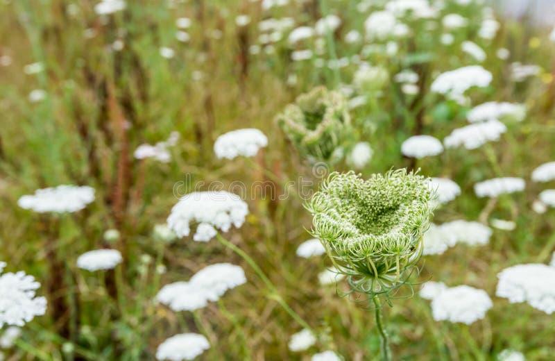 Blühende und knospende Anlagen der wilden Karotte lizenzfreies stockbild
