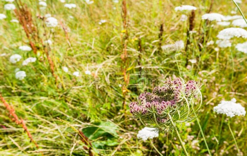 Blühende und knospende Anlagen der wilden Karotte lizenzfreies stockfoto
