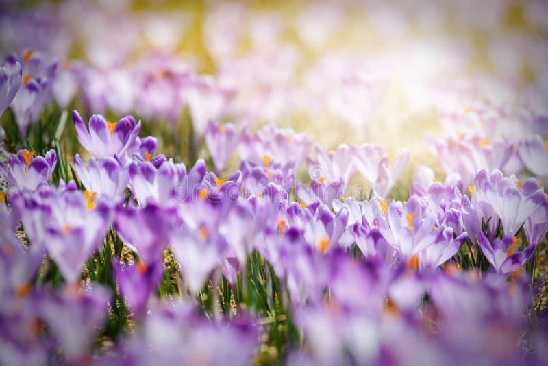 Blühende violette Krokusse der Weinlese stockfotos