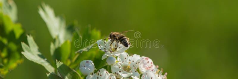 Blühende Weißdornblüten und eine Biene, die Nektar sammelt Fahne für Entwurf stockfotografie