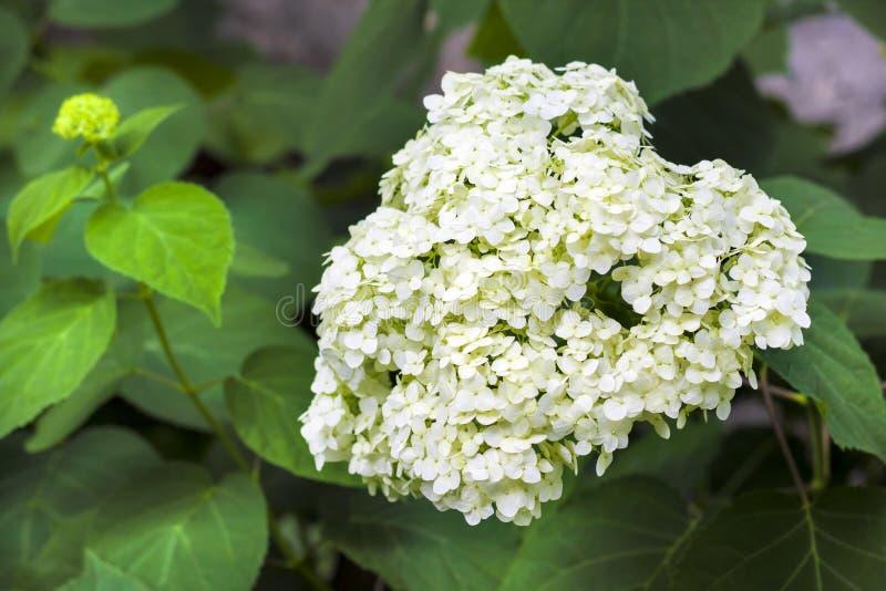 Blühende weiße Annabelle Hydrangea-arborescens lizenzfreies stockbild