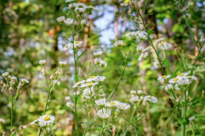 Blühende weiße Blumen von Matricaria chamomilla lizenzfreie stockfotos