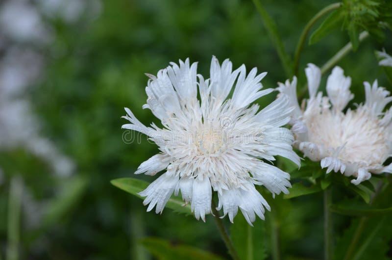 Blühende Weiße Nadelkissen-Blumen In Einem Garten Stockfoto - Bild ...