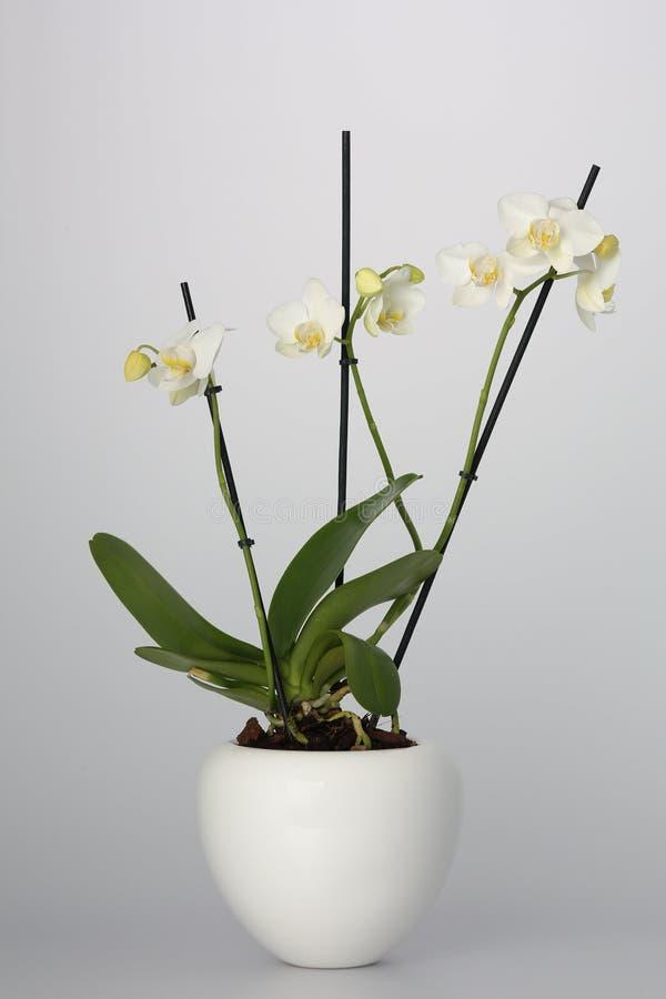 Weiße Orchidee Im Weiße Blumen-Topf Stockfoto - Bild von niemand ...