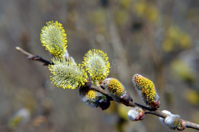 Blühende Weide. stockfoto