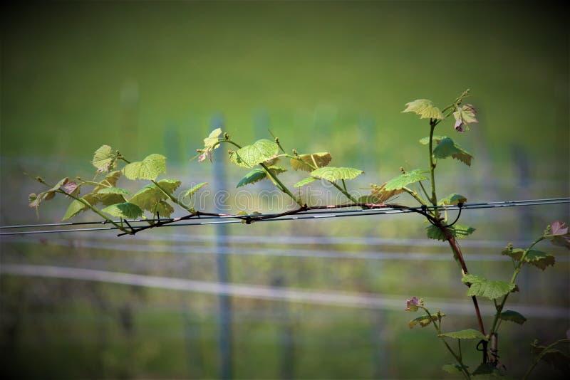 Blühende Weinrebe lizenzfreie stockfotografie