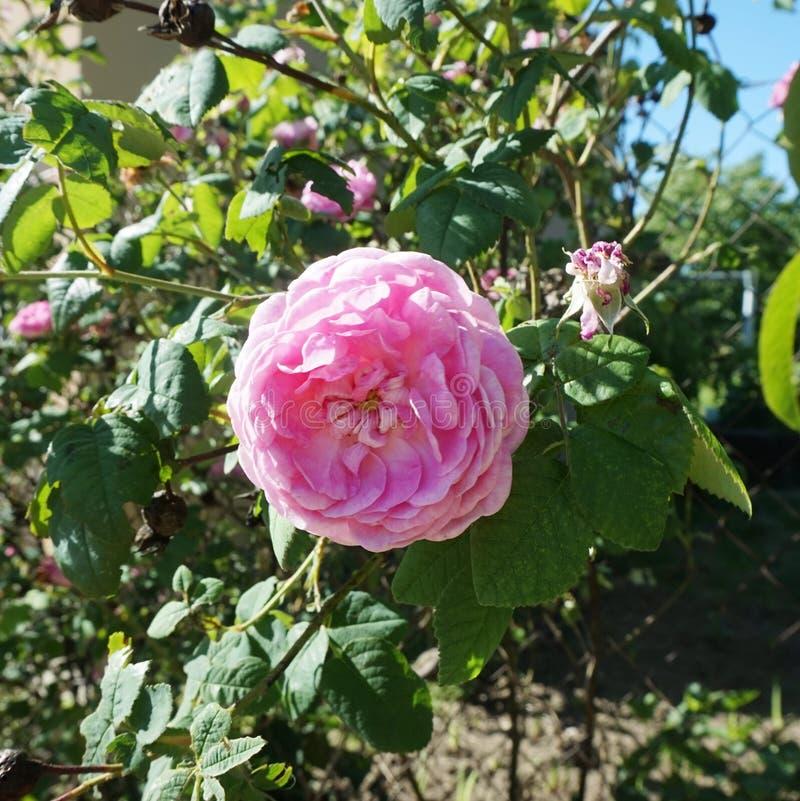 Blühende wickelnde Rotrose auf dem Zaun lizenzfreie stockbilder
