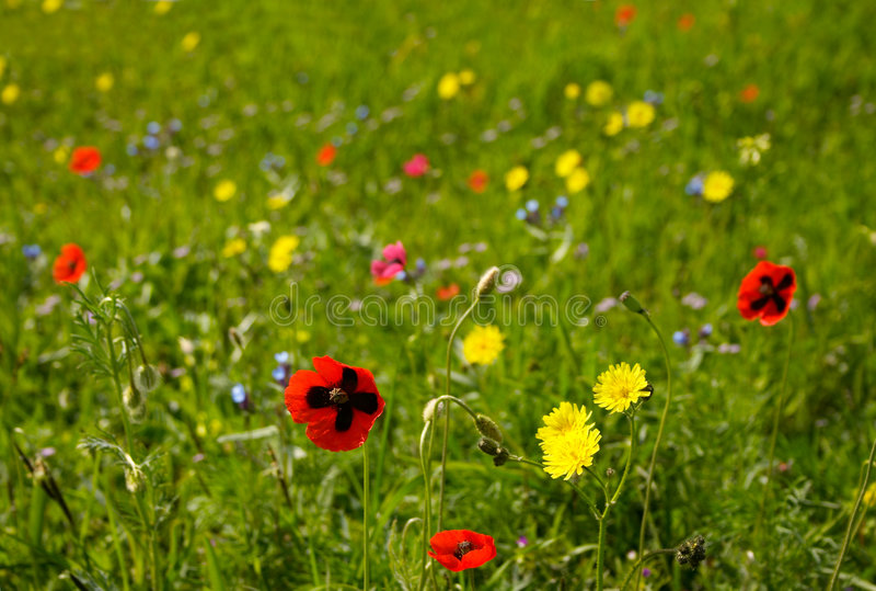 Blühende Wiese stockbild