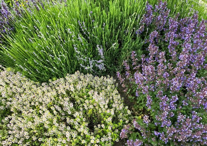 Blühende Wiesenblumen: salvia und Lavendel in der grünen Sommerwiese Büsche der wilden Blume stockbilder