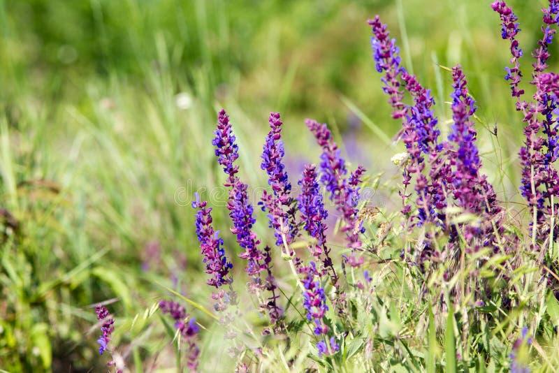 Blühende wilde Blume - Wiesenblume Schönes Feld mit Unschärfe stockfotografie