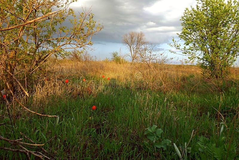 Blühende wilde rote Tulpen stockbilder