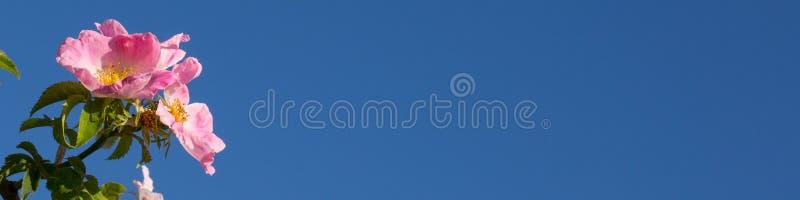Blühende wilder Hunderosafarbene Blume auf Panorama des blauen Himmels stockbilder