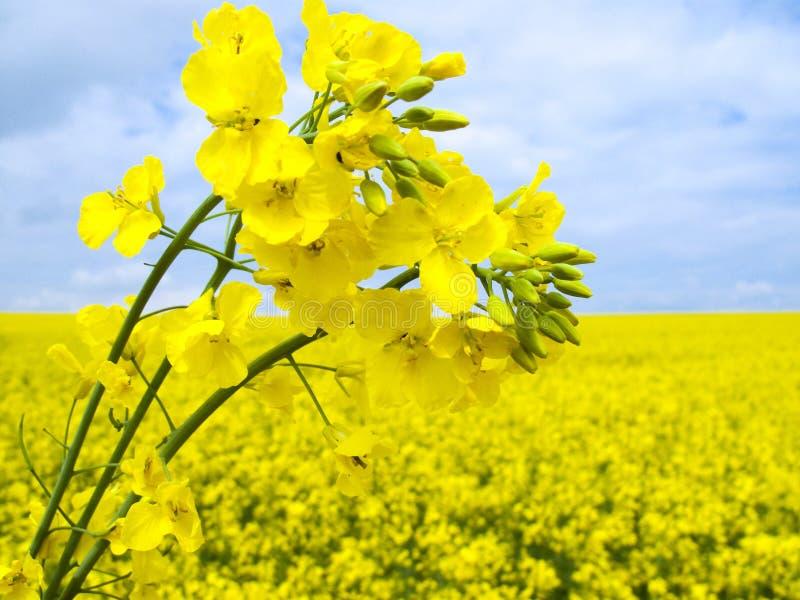 Blühender ölraps stockbild