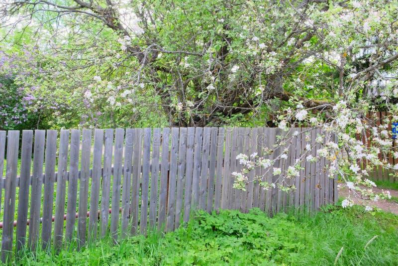 Blühender Apfelbaum auf der hölzernen Wand lizenzfreie stockbilder