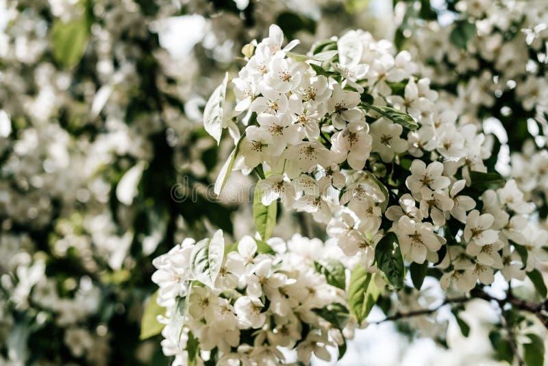 Blühender Apfelbaum - Foto Apple-Blumen lizenzfreie stockfotos