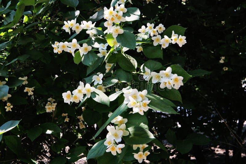 Blühender Apfelbaum im Frühjahr im Garten lizenzfreie stockfotos