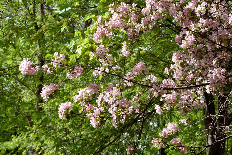 Blühender Apfelbaum am sonnigen Frühlingstag Schöne Frühlingsrosablüte stockbild