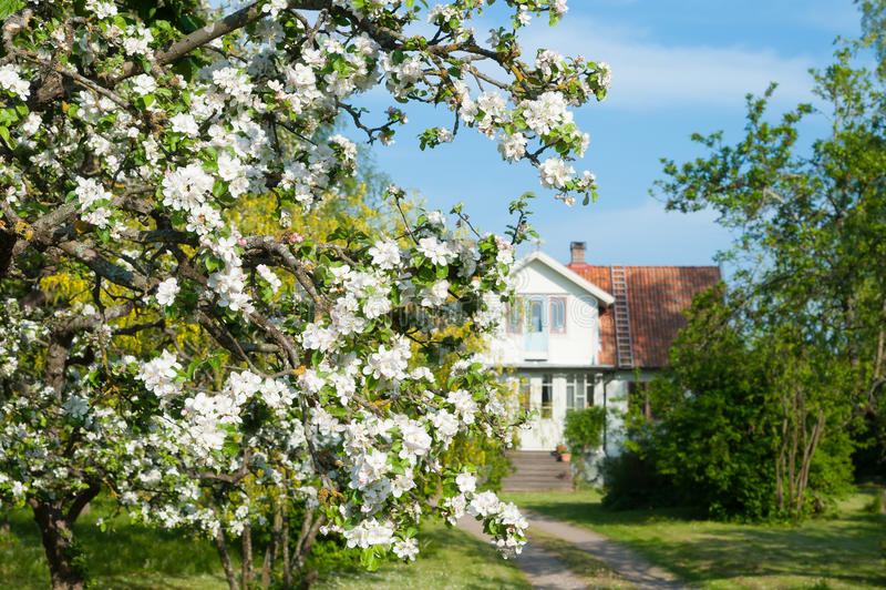 Blühender Apfelbaum vor einem Bauernhaus in der schwedischen Zählung stockfotos