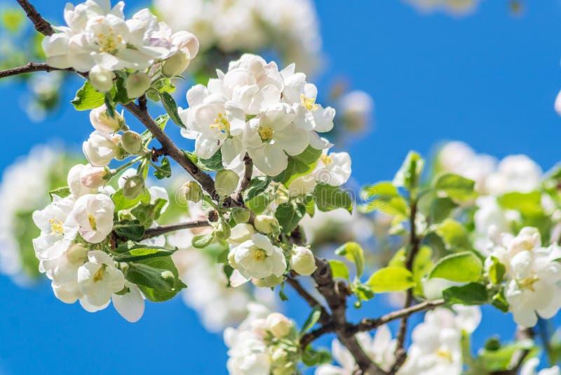 Blühender Apfelbaum, weiße Blumen, gegen Hintergrund des blauen Himmels stockbild