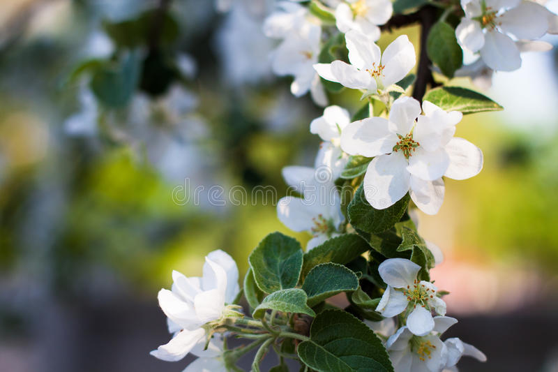 Blühender Apfelbaumzweig stockfotos
