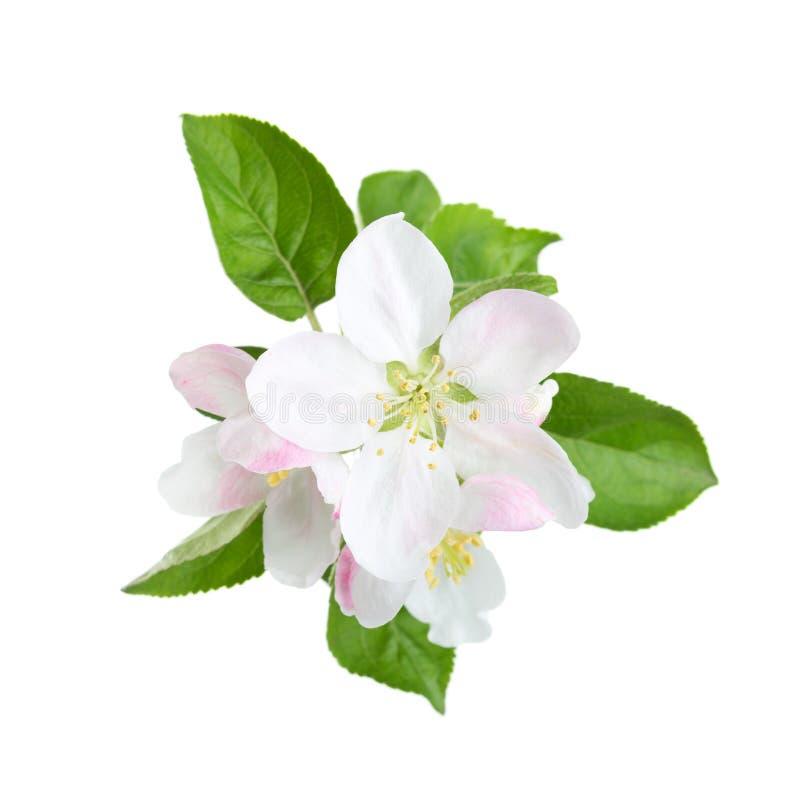 Blühender Apfelbaumzweig lizenzfreies stockbild