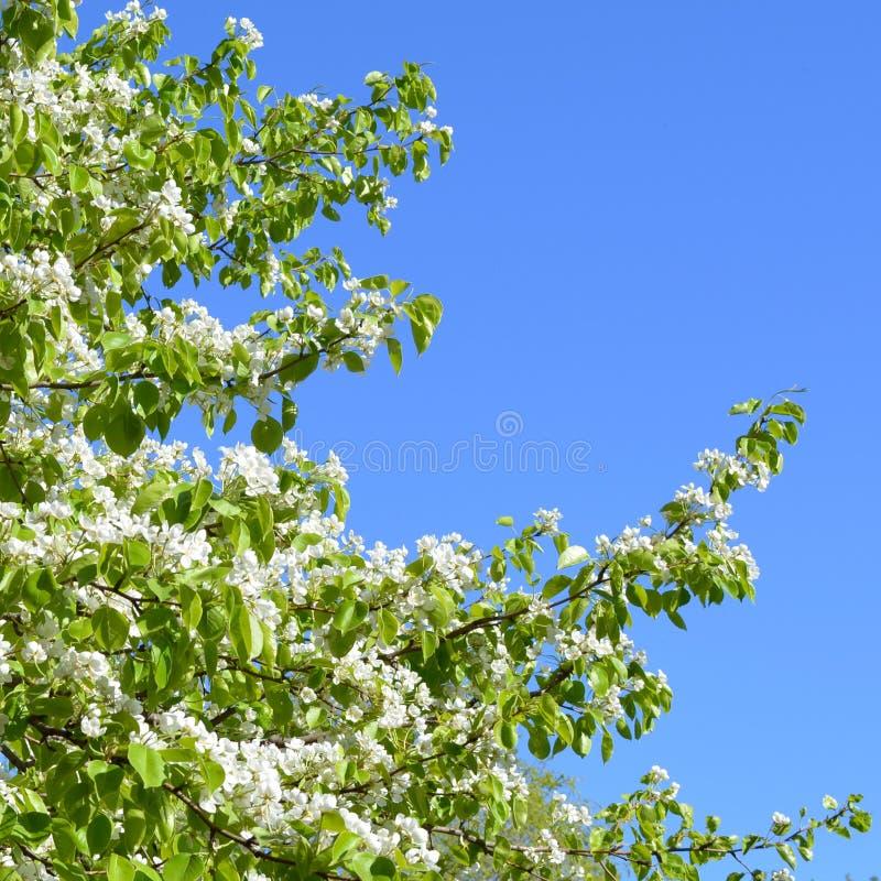 Blühender Baum Des Frühlinges Niederlassungen Mit Weißen Blumen ...
