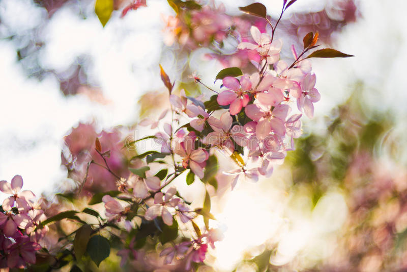 Blühender Baum des schönen Frühlinges, leichte weiße Blumen, neue Kirschblütengrenze auf grünem Weichzeichnungshintergrund, Frühl stockfotografie