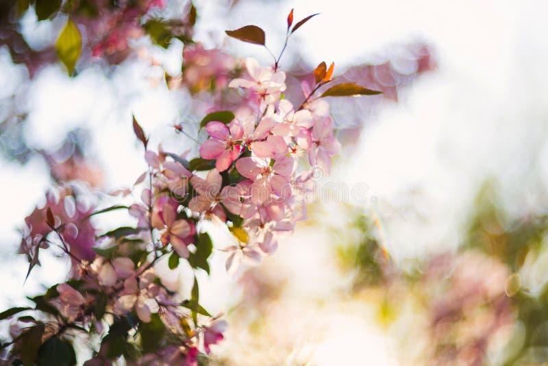 Blühender Baum des schönen Frühlinges, leichte weiße Blumen, neue Kirschblütengrenze auf grünem Weichzeichnungshintergrund, Frühl lizenzfreies stockbild