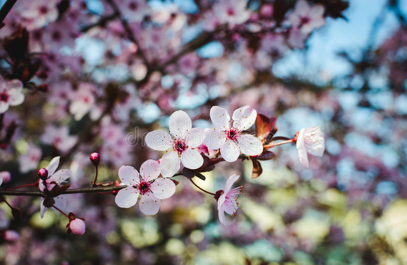 Blühender Baum Am Frühling, Frische Rosa Blumen Auf Der ...