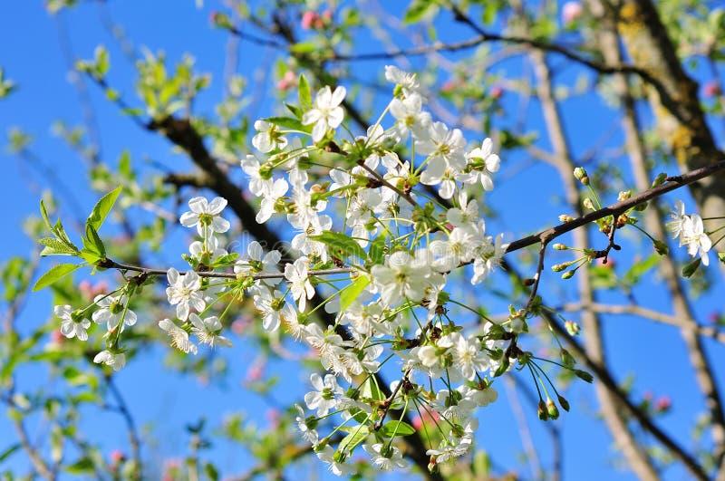 Blühender Baum im Frühjahr stockfotos