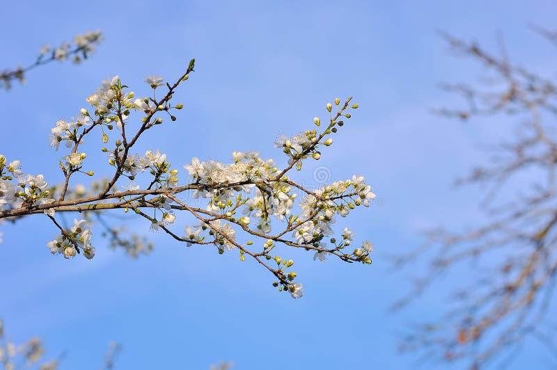 Blühender Baum im Frühjahr stockfoto