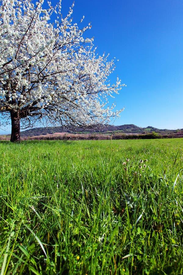 Blühender Baum im Frühjahr. stockfoto