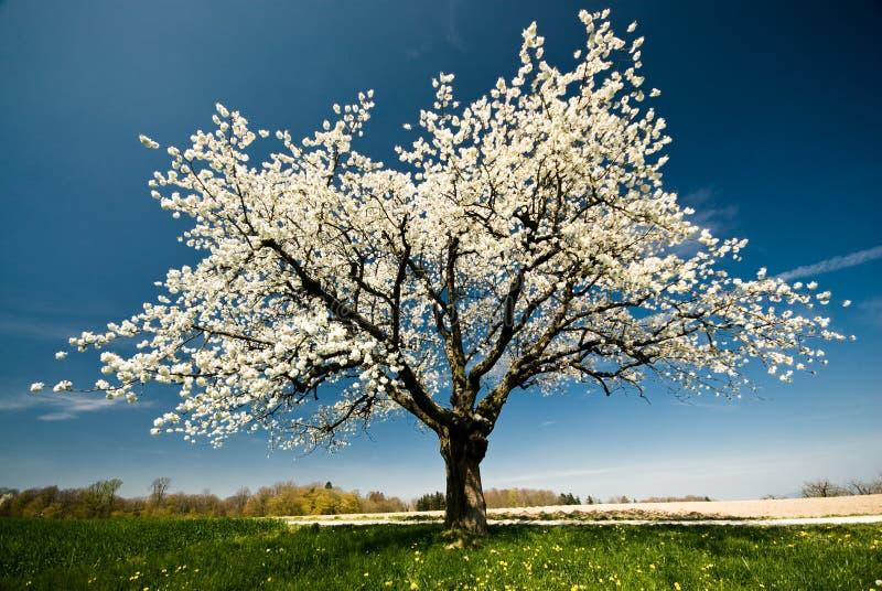 Blühender Baum im Frühjahr. lizenzfreie stockbilder