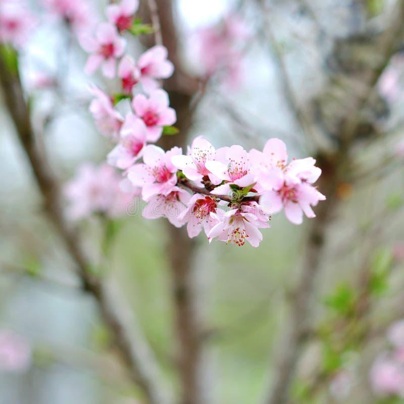 Blühender Baum im Frühjahr lizenzfreie stockbilder