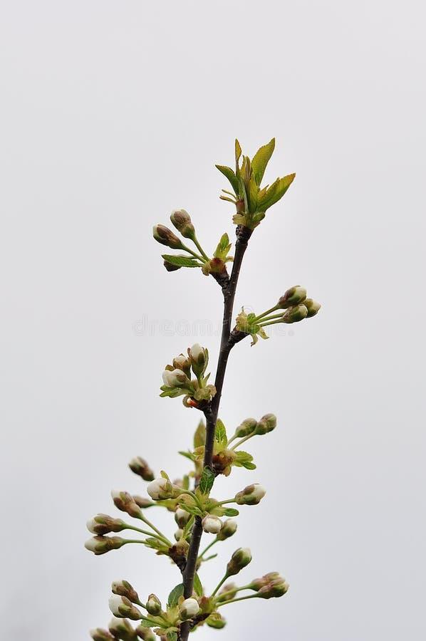 Blühender Baum im Frühjahr stockbilder