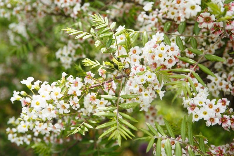 Blühender Baum Im Garten Schließen Sie Herauf Weiße Blumen Auf Den ...