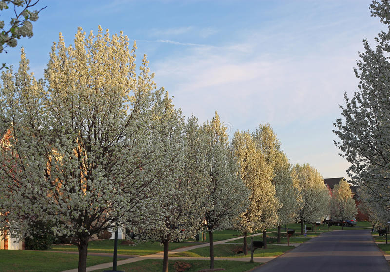 Blühender Birnen-Baum stockbild