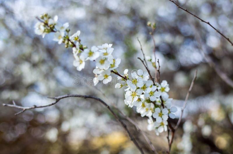 Blühender Birnen-Baum im Frühjahr lizenzfreie stockbilder
