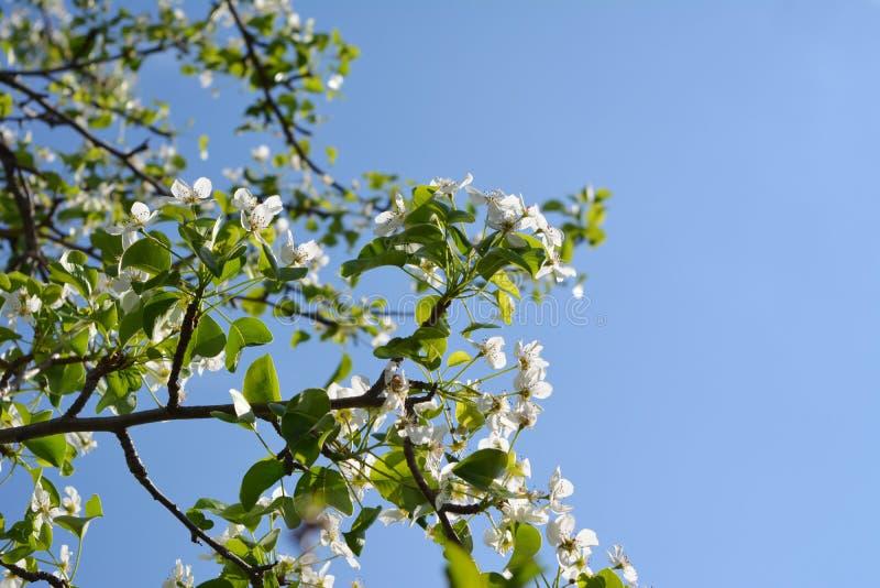 Blühender Birnen-Baum Niederlassungen mit schönen Blumen gegen klaren blauen Himmel stockfotografie