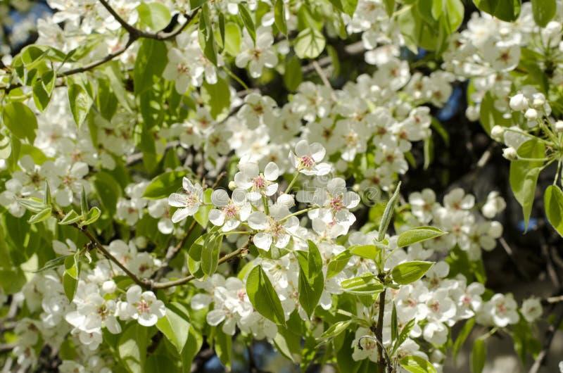 Blühender Birnenbaum des Frühlinges stockfotos