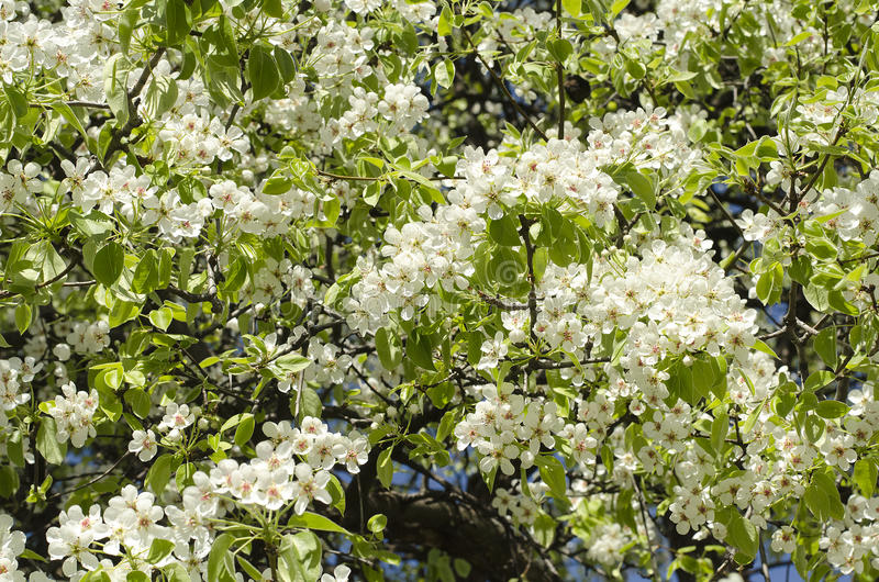 Blühender Birnenbaum des Frühlinges stockfoto