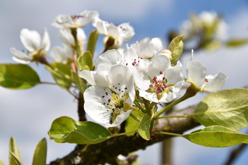 Blühender Birnenbaumast im Frühjahr stockfotos