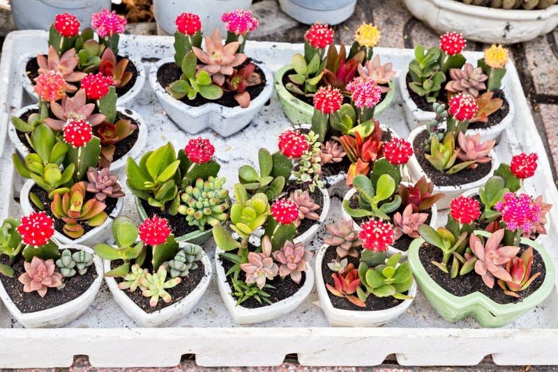 Blühender Blumen Kaktusblumentopf-Herzmarmor stockbilder