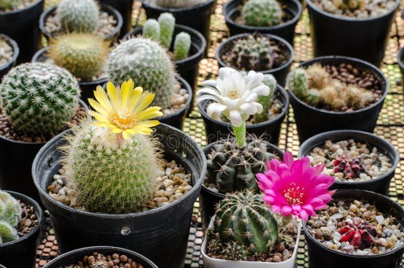 Blühender Blumenkaktus stockbilder