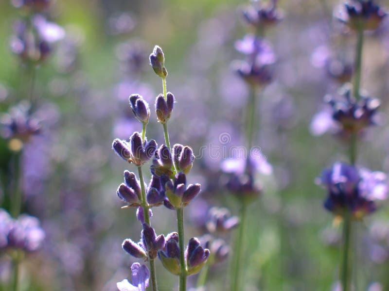 Blühender Busch des Lavendels lizenzfreie stockbilder