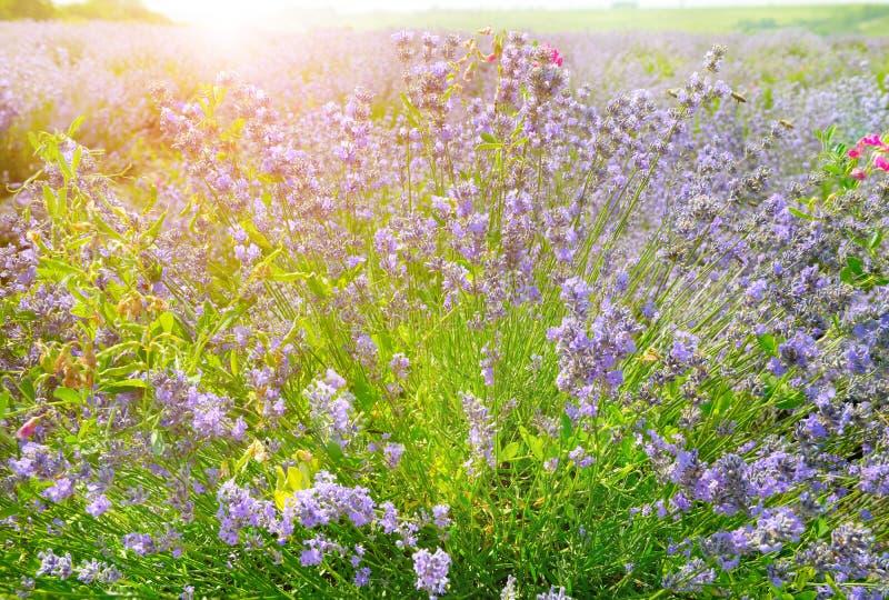 Blühender Busch des Lavendels lizenzfreie stockfotos