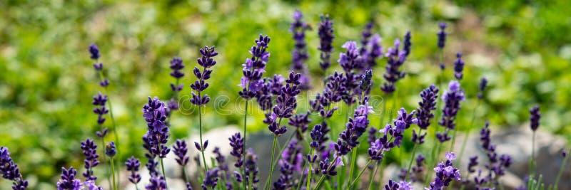Blühender Busch des Lavendels in der Landschaft auf einer Wiese Fahne für Entwurf stockfotos