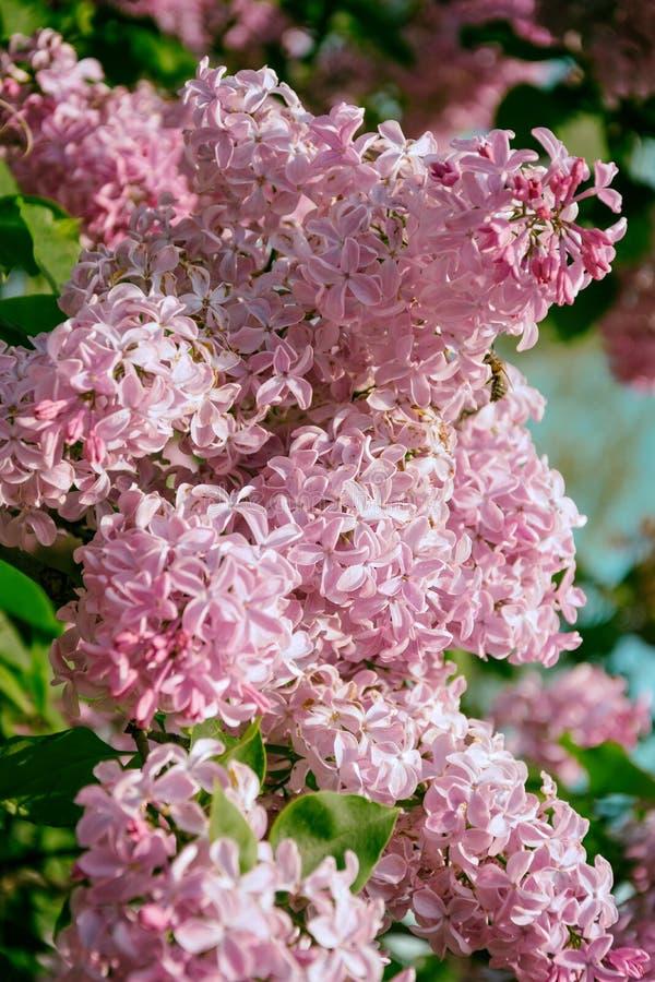 Blühender Busch von schönen Fliedern lizenzfreie stockbilder