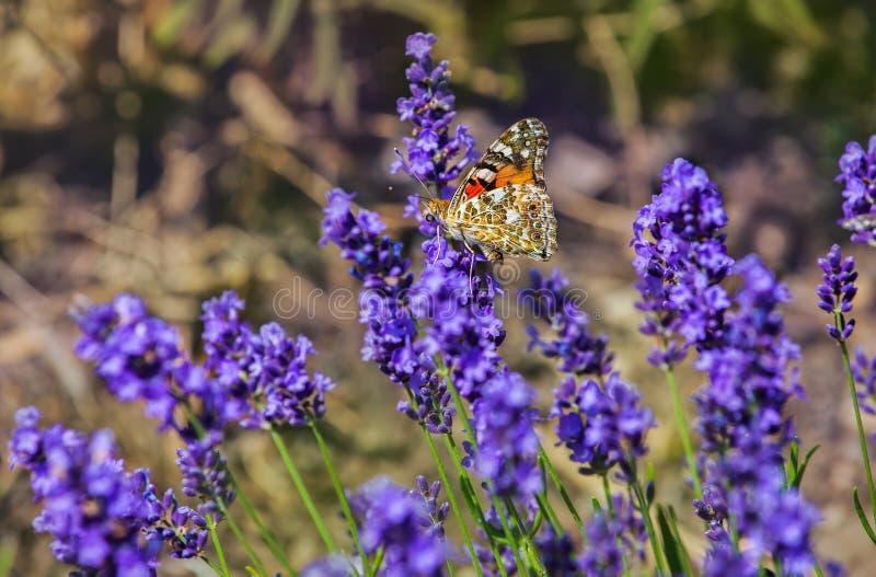 Blühender Buschlavendel roch beleuchtet durch die Sonne im Sommer im Garten, in dem der schöne Schmetterling sitzt lizenzfreie stockfotografie