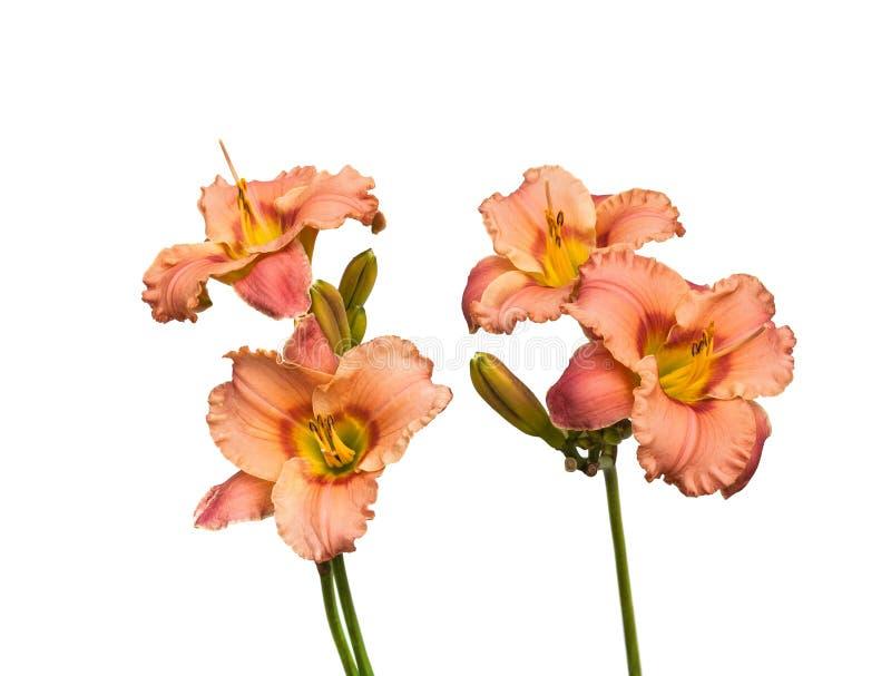 Blühender Daylily lokalisiert auf Weiß lizenzfreie stockfotos